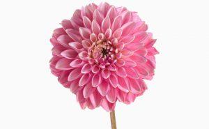 Доставка цветов в Тольятти | цветы Тольятти | ВцвеТочке | vcvetochke | купить цветы в Тольятти | букет Тольятти | цветы в тольятти дешево | купить цветы с доставкой в тольятти | астра