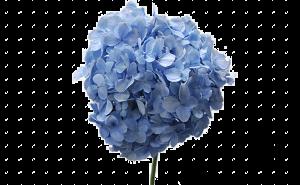 доставка цветов в тольятти, цветы тольятти, доставка цветов тольятти, цветы, гортензия букет, гортензия купить, гортензия Тольятти, гортензия метельчатый, гортензия, тольятти, гортензии букет цветы купить, гортензия доставка