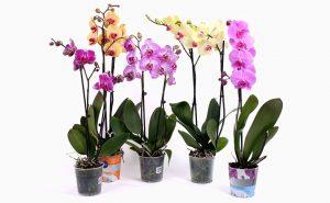 Доставка цветов в Тольятти | цветы Тольятти | ВцвеТочке | vcvetochke | купить цветы в Тольятти | букет Тольятти | цветы в тольятти дешево | купить цветы с доставкой в тольятти | горшечные растения