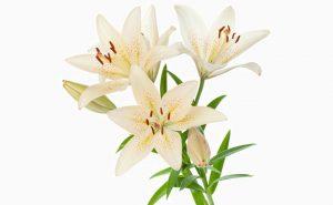 Доставка цветов в Тольятти | цветы Тольятти | ВцвеТочке | vcvetochke | купить цветы в Тольятти | букет Тольятти | цветы в тольятти дешево | купить цветы с доставкой в тольятти | лилия