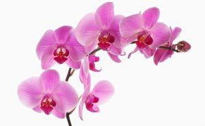 Доставка цветов в Тольятти | цветы Тольятти | ВцвеТочке | vcvetochke | купить цветы в Тольятти | букет Тольятти | цветы в тольятти дешево | купить цветы с доставкой в тольятти | орхидея