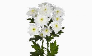 Доставка цветов в Тольятти | цветы Тольятти | ВцвеТочке | vcvetochke | купить цветы в Тольятти | букет Тольятти | цветы в тольятти дешево | купить цветы с доставкой в тольятти | хризантема