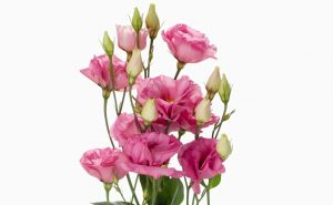 Доставка цветов в Тольятти | цветы Тольятти | ВцвеТочке | vcvetochke | купить цветы в Тольятти | букет Тольятти | цветы в тольятти дешево | купить цветы с доставкой в тольятти | эустома